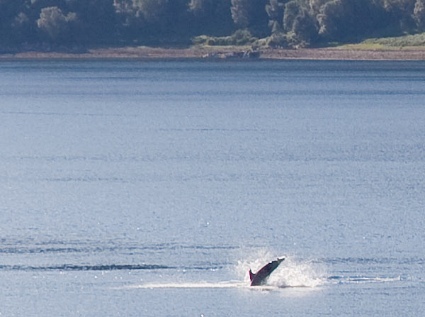 Dolphins at Kyle of Lochalsh